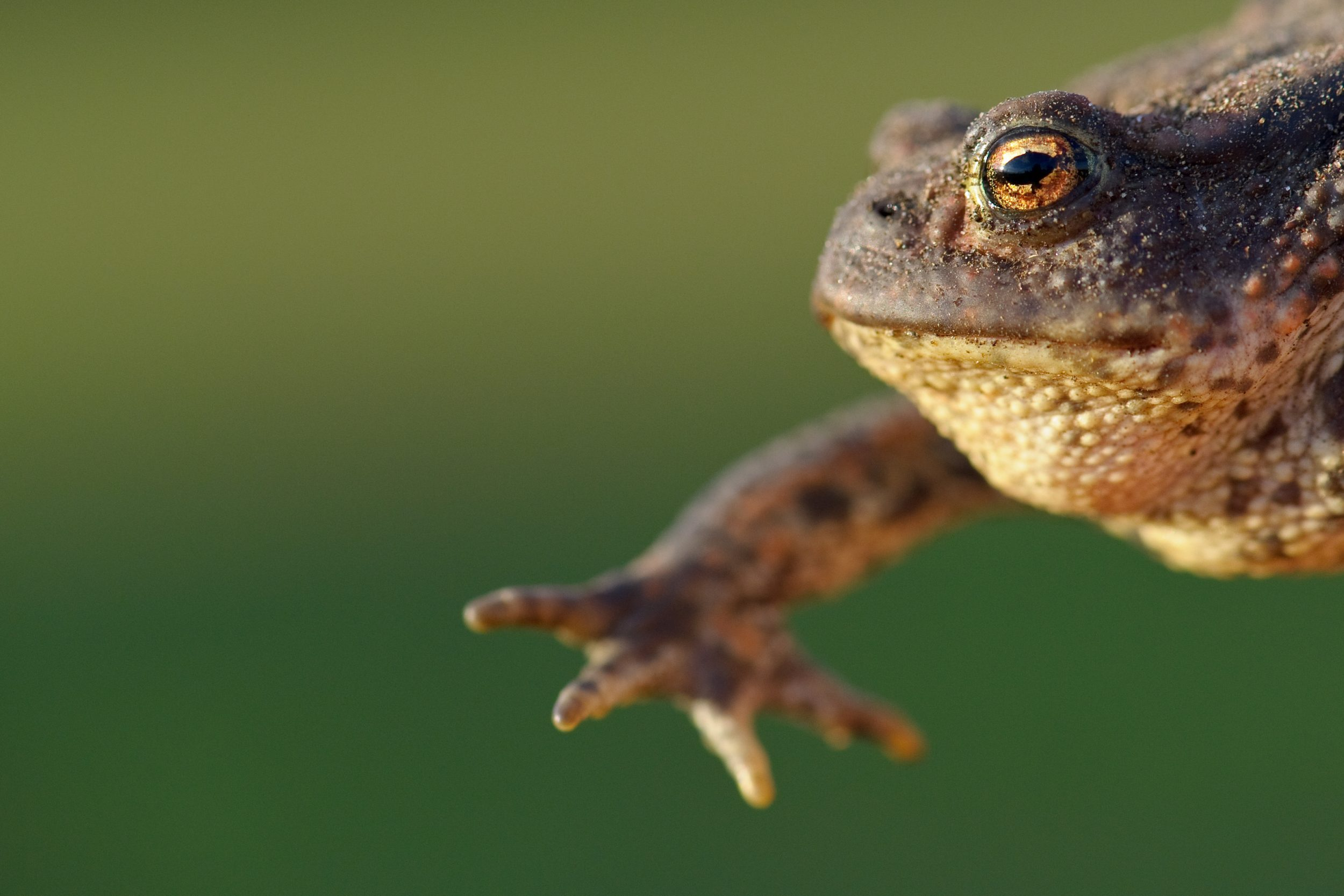 Here's a common toad, note the trademark horizontal iris and watch out for the poisonous skin! Photo by Phil Johnston.