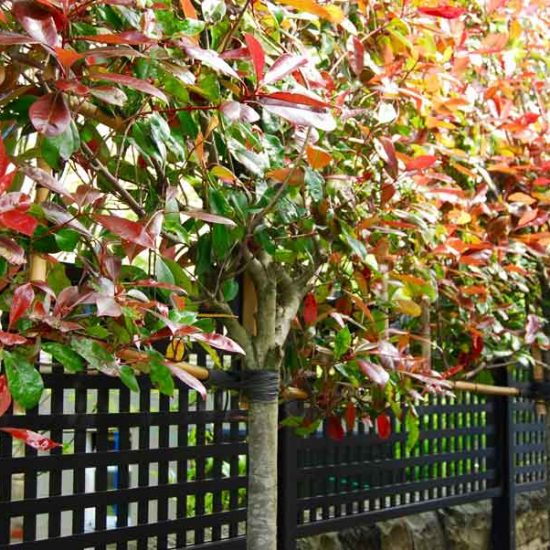 Pleached Photinias, Edinburgh garden built by Water Gems, designed by Carolyn Grohmann