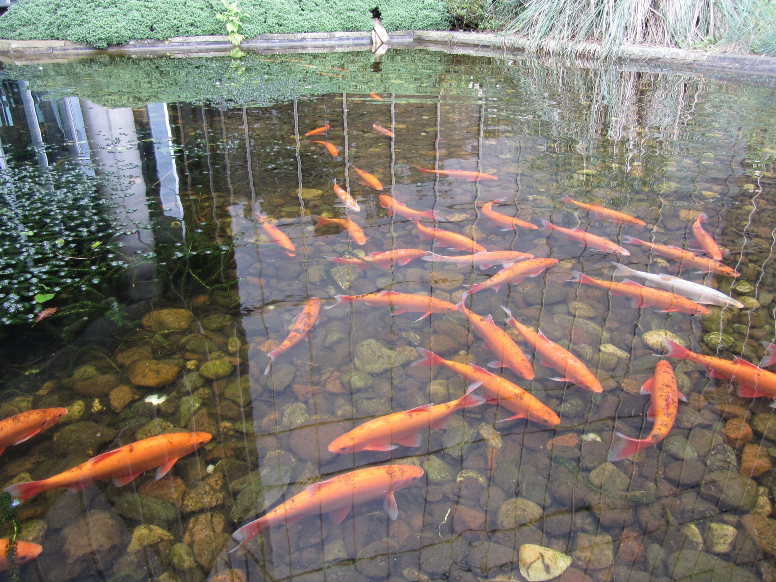 These are my favourite ornamental fish, golden orfe - long lived and beautiful.