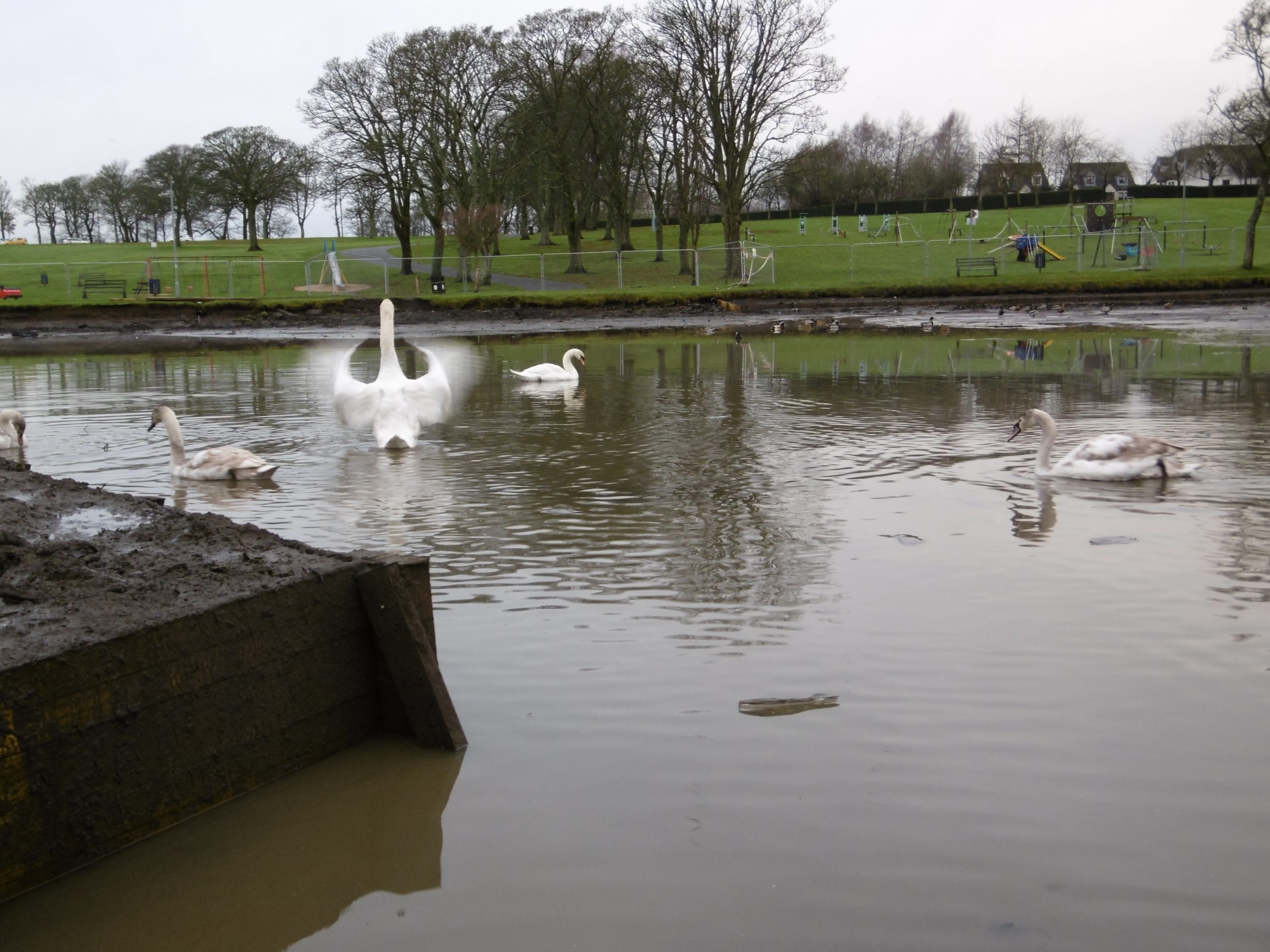 Swans in Kay Park