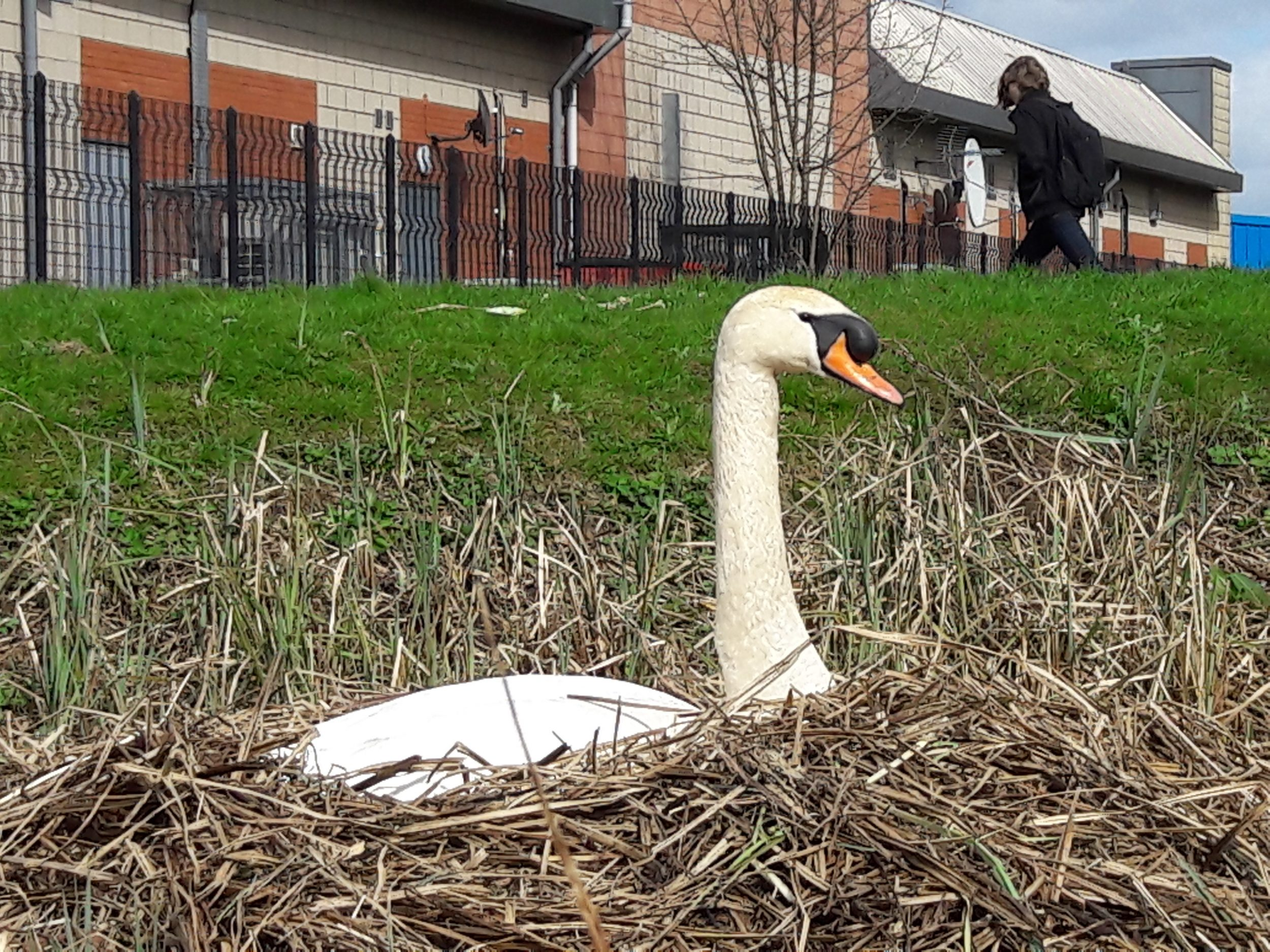 nesting swan at Stenhouse Lido