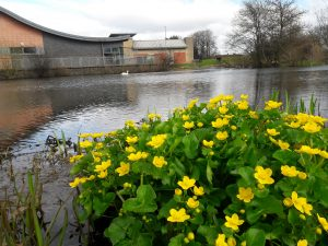 bright yellow marsh marigold at Stenhouse Lido