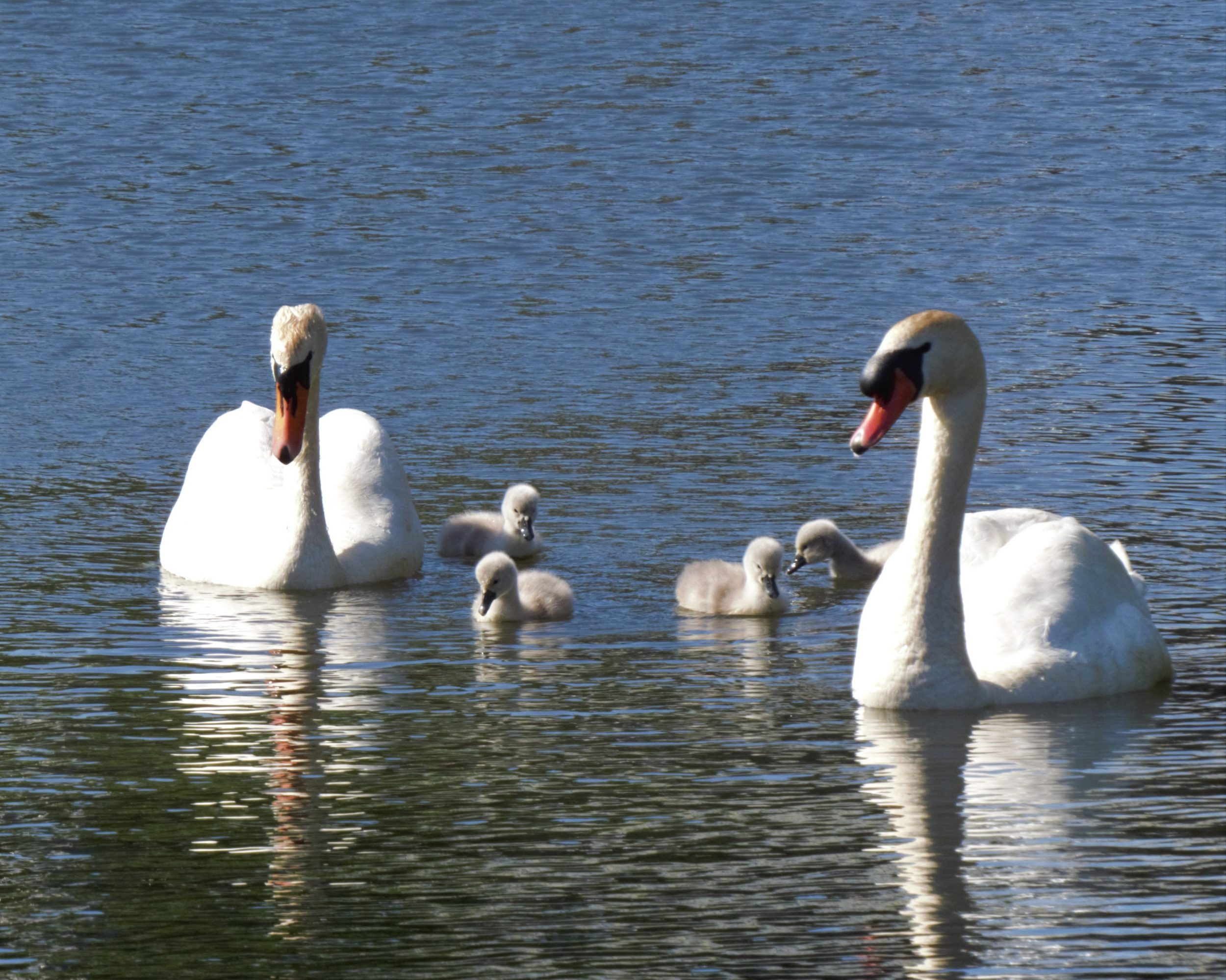swan family at the lido