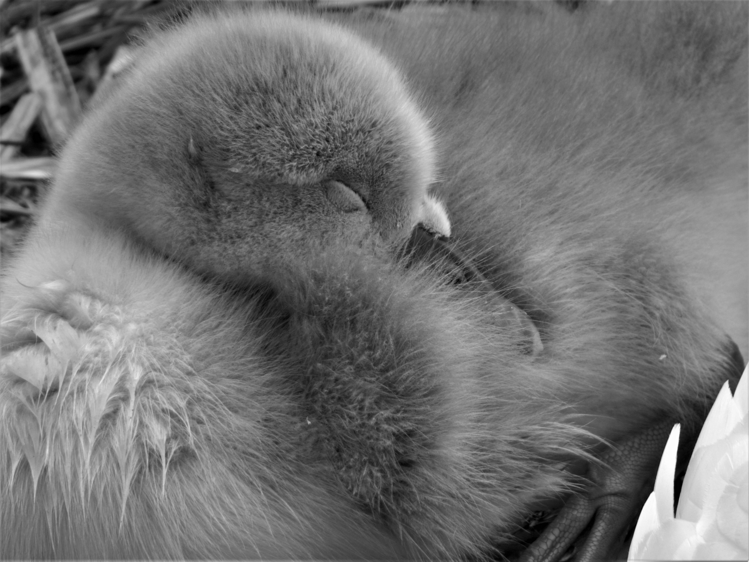 cygnet at the lido